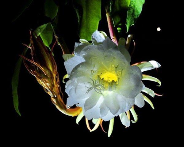 Ảnh hoa Quỳnh dưới trăng