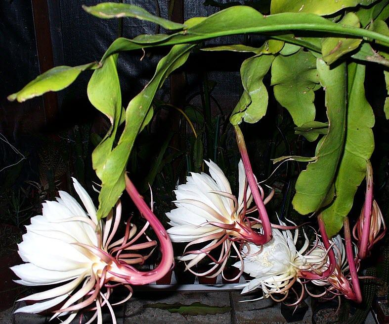 Ảnh hoa Quỳnh khoe sắc cực đẹp