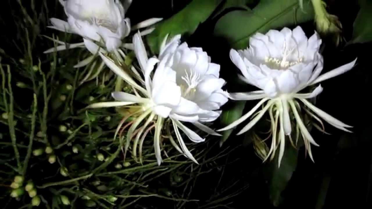Ảnh hoa Quỳnh nở