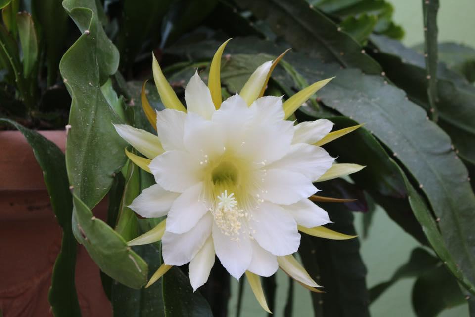 Ảnh hoa Quỳnh