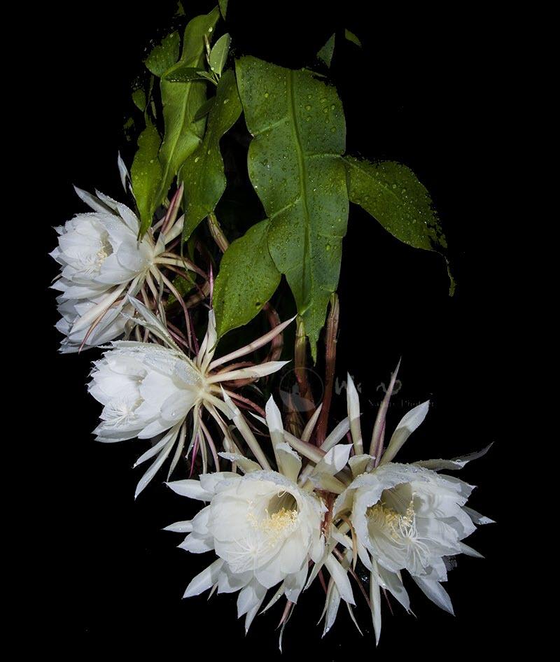 Ảnh những bông hoa Quỳnh khoe sắc trong đêm