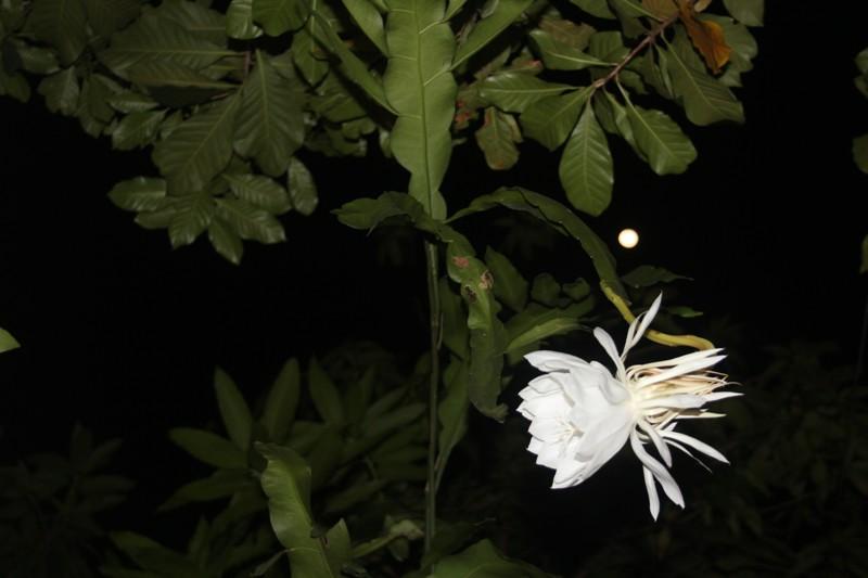 Bông hoa Quỳnh trong đêm
