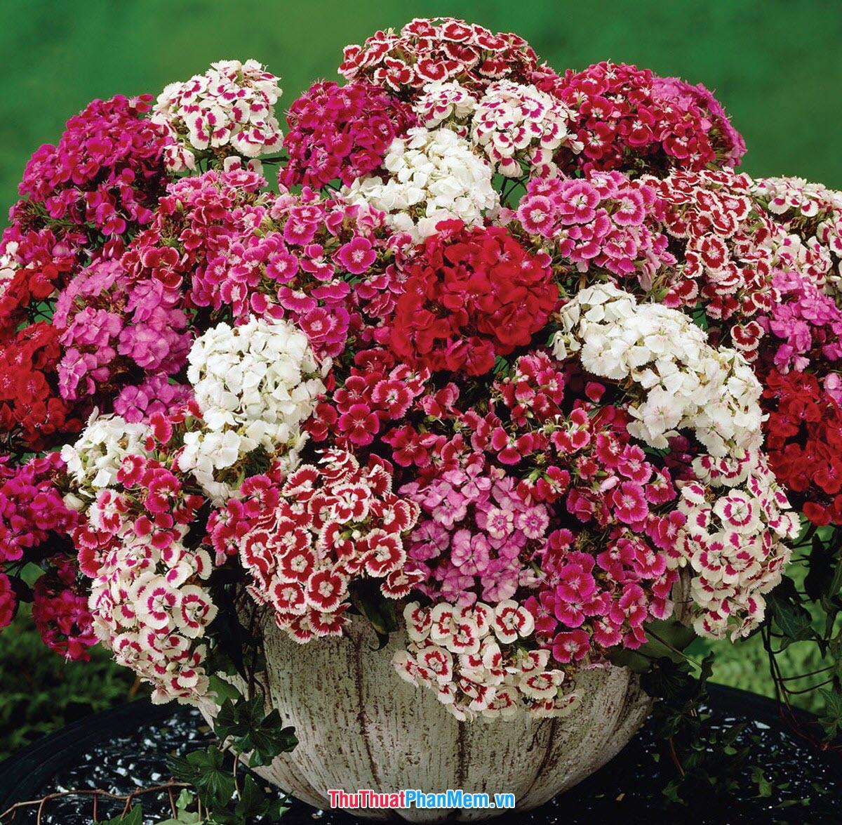 Chậu hoa cẩm chướng khoe sắc để tặng vợ và người yêu nhân ngày mùng 8 tháng 3