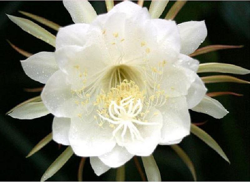 Chiêm ngưỡng vẻ đẹp hoa Quỳnh