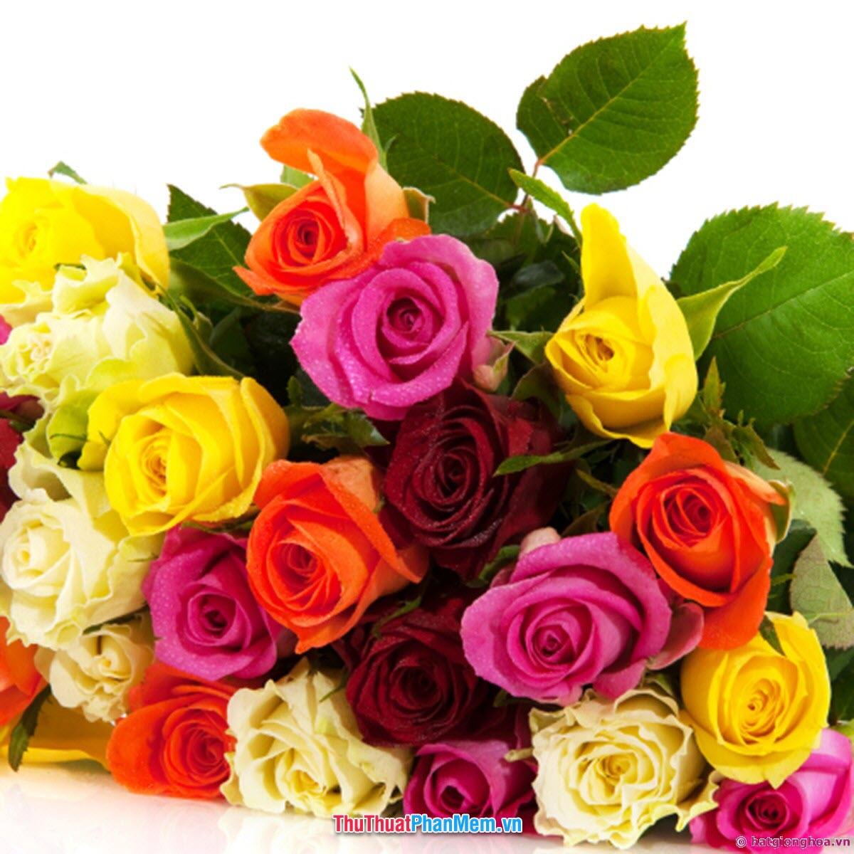 Đóa hoa hồng nhiều màu sắc tặng mẹ nhân ngày quốc tế phụ nữ