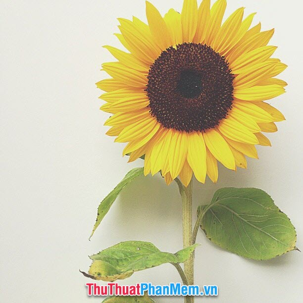 Đóa hoa hướng dương đầy ý nghĩa tặng mẹ nhân ngày quốc tế phụ nữ