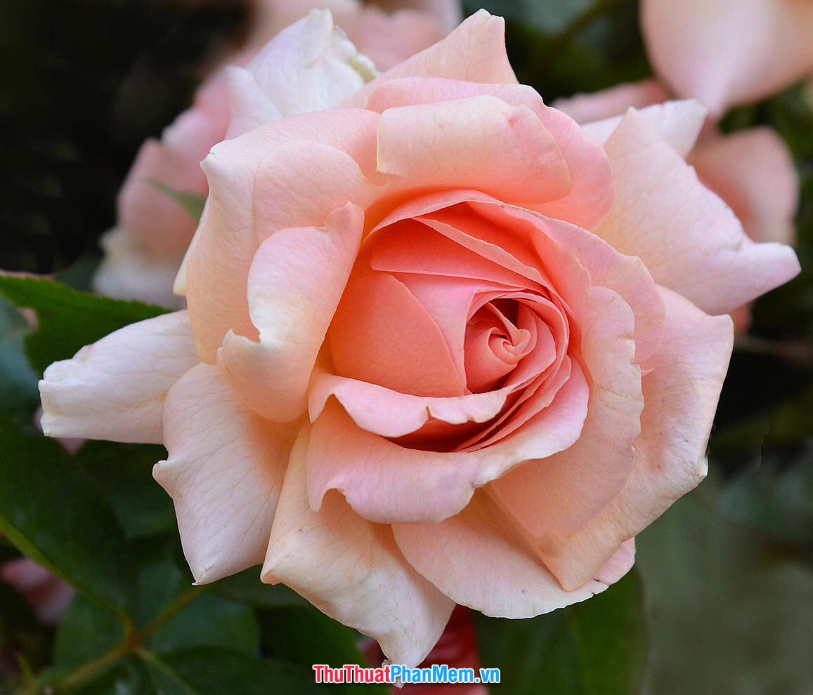 Đóa hồng vàng với màu sắc dịu nhẹ tặng vợ và người yêu vào ngày mùng 8 tháng 3