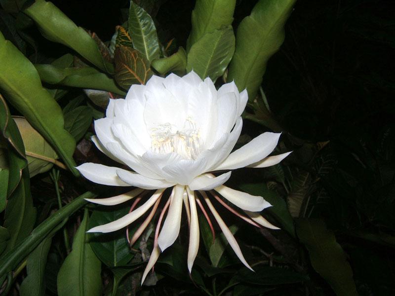 Hình ảnh bông hoa Quỳnh cực đẹp