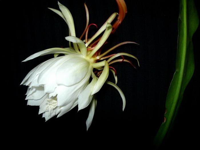 Hình ảnh bông hoa Quỳnh trong đêm đẹp