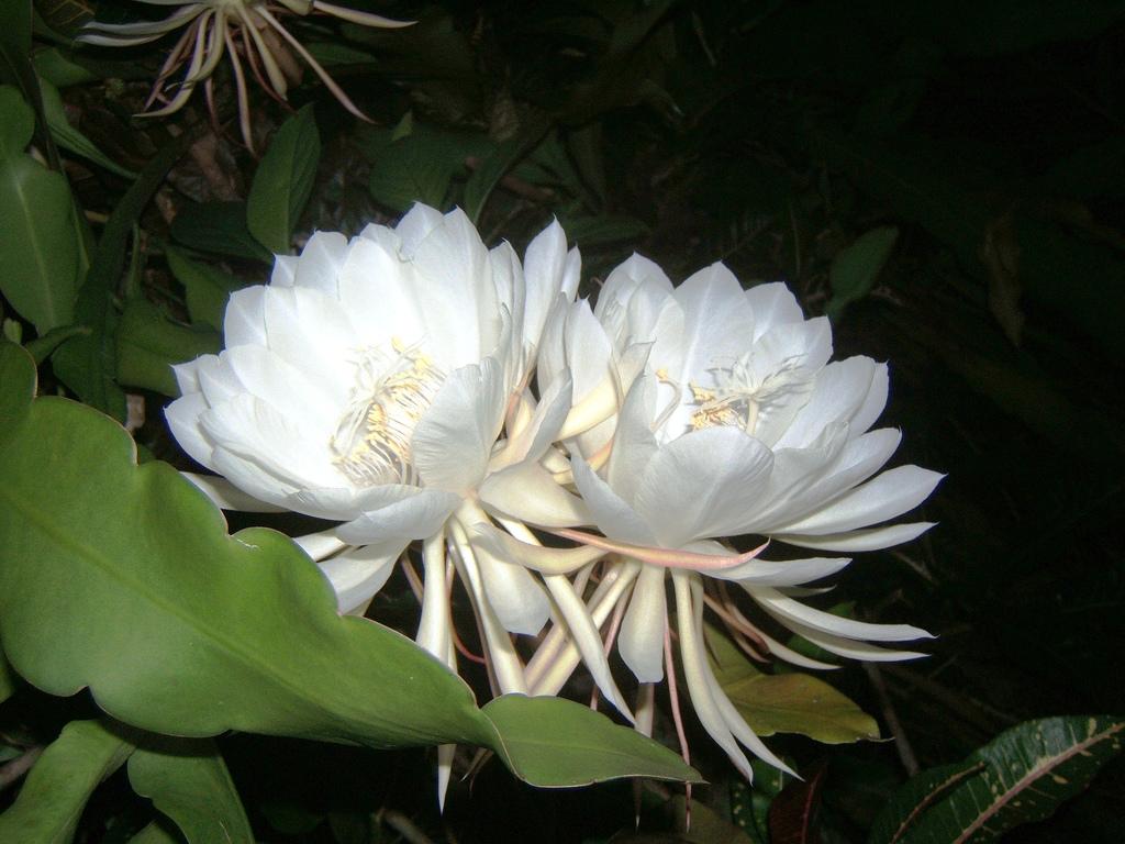 Hình ảnh cành hoa Quỳnh đẹp