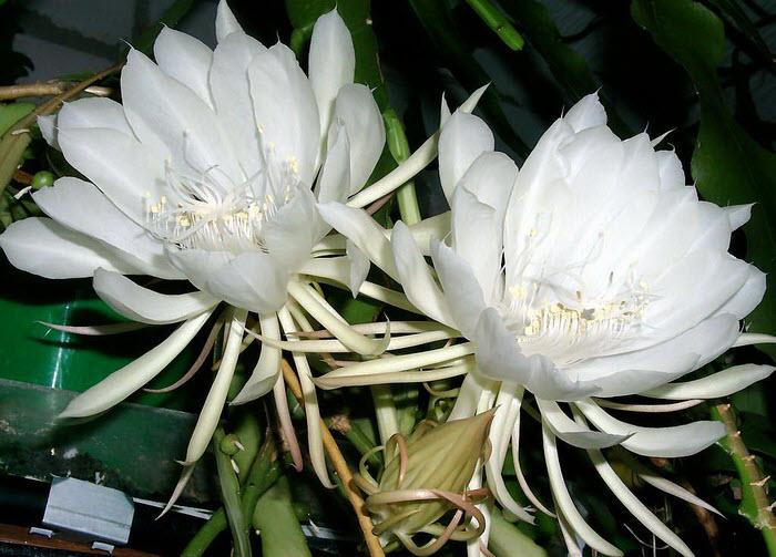 Hình ảnh cây hoa Quỳnh đẹp