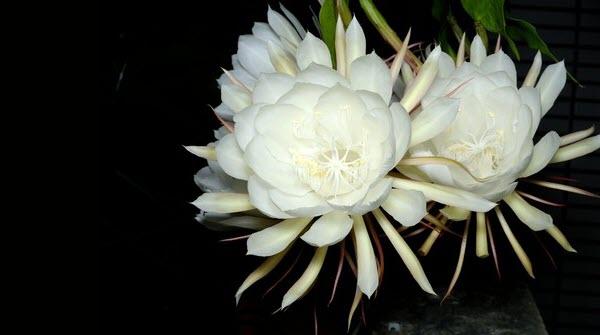 Hình ảnh chùm hoa Quỳnh đẹp