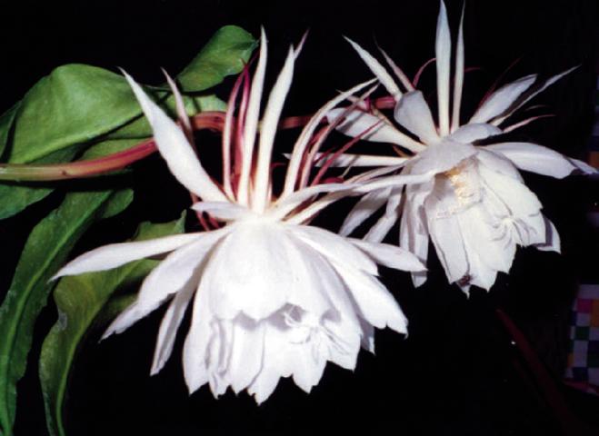 Hình ảnh đẹp của hoa Quỳnh