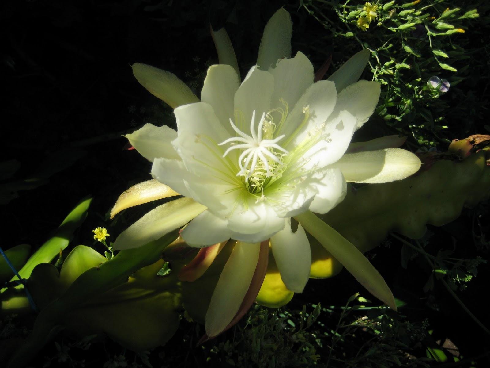 Hình ảnh đẹp của loài hoa Quỳnh