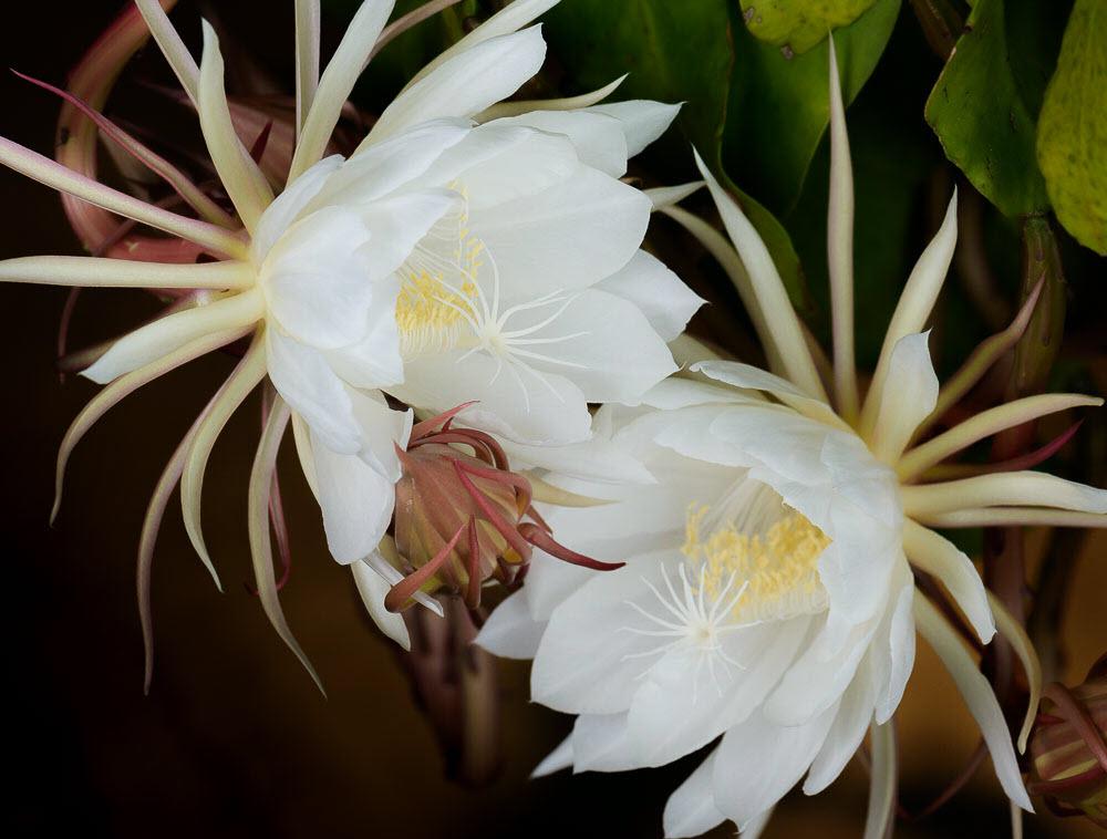 Hình ảnh đẹp nhất của hoa Quỳnh