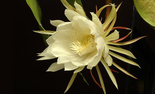 Hình ảnh đẹp về hoa Quỳnh