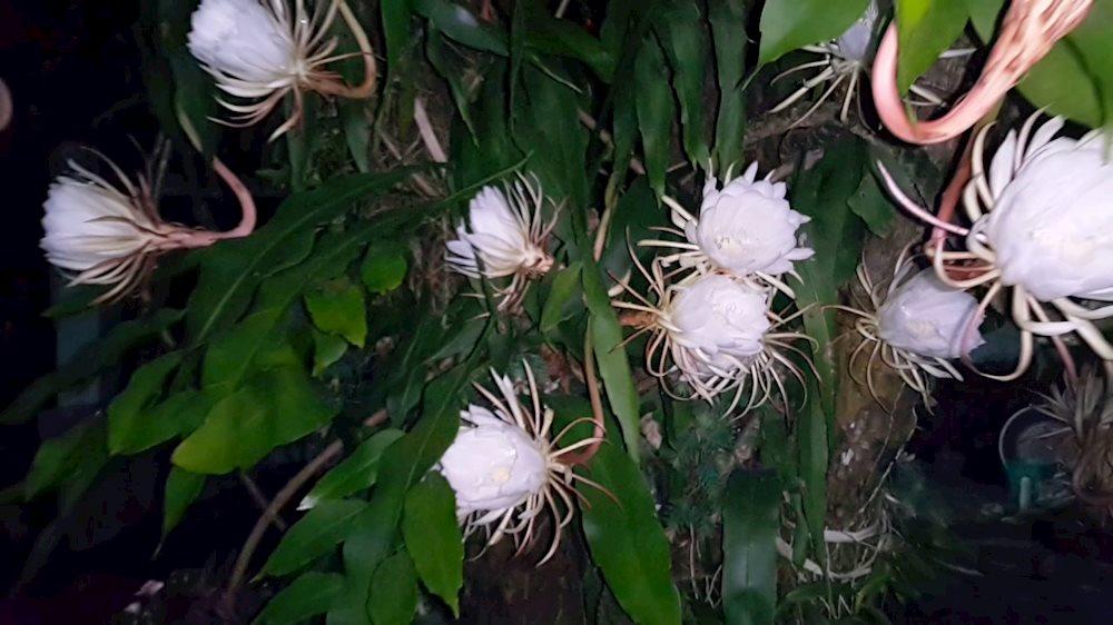 Hình ảnh hoa Quỳnh đẹp