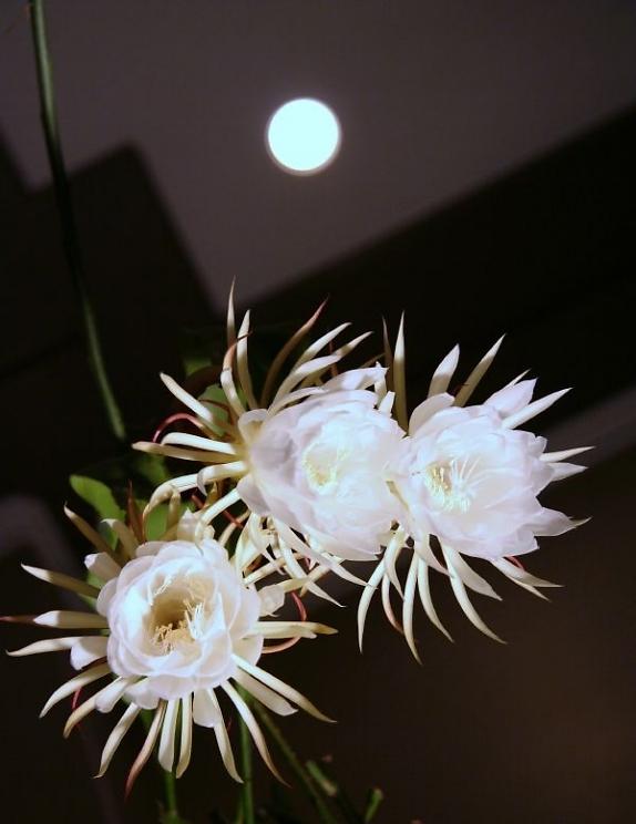 Hình ảnh hoa Quỳnh dưới trăng đẹp nhất