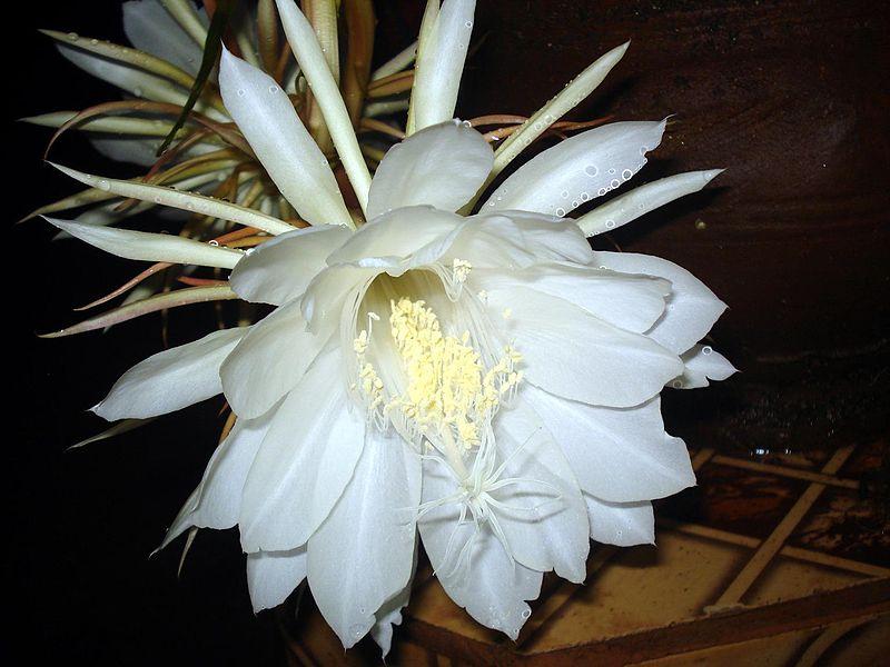Hình ảnh hoa Quỳnh Hương đẹp