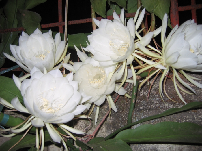 Hình ảnh hoa Quỳnh Hương