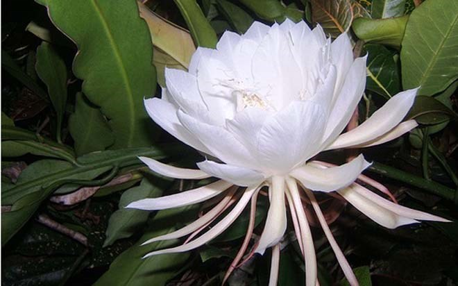 Hình ảnh hoa Quỳnh khoe sắc thắm
