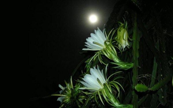 Hình ảnh hoa Quỳnh nở đêm đẹp