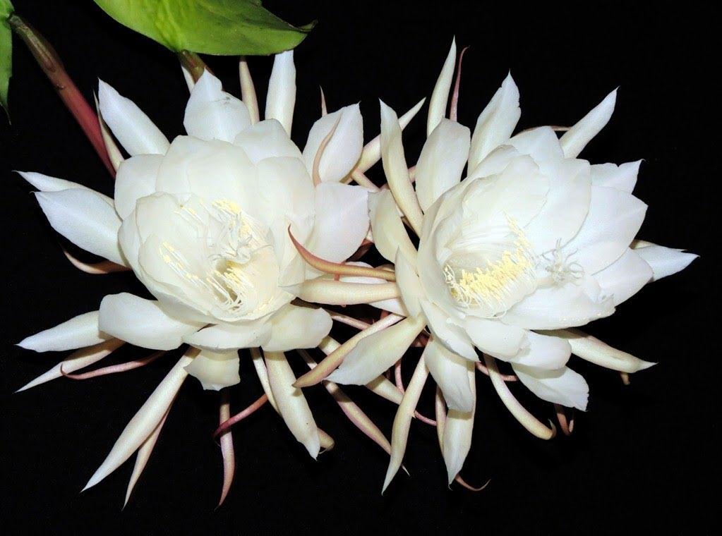 Hình ảnh hoa Quỳnh nở