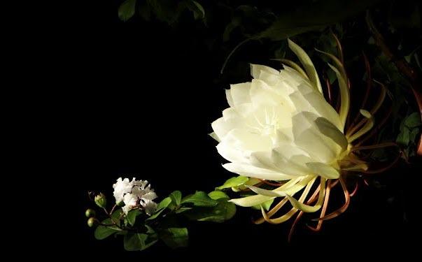Hình ảnh hoa Quỳnh