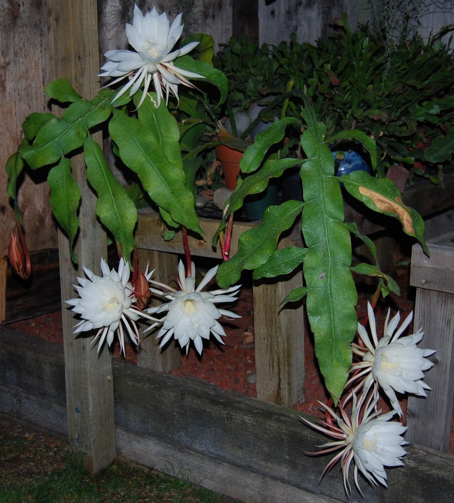 Hình ảnh những bông hoa Quỳnh đẹp
