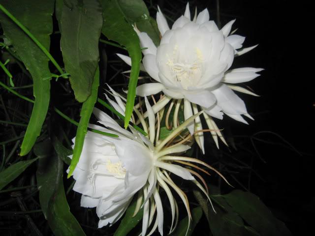 Hình ảnh những bông hoa Quỳnh nở đẹp