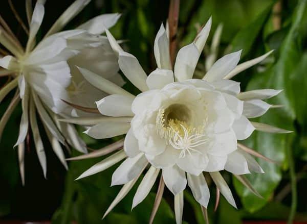 Hình bông hoa Quỳnh đẹp nhất