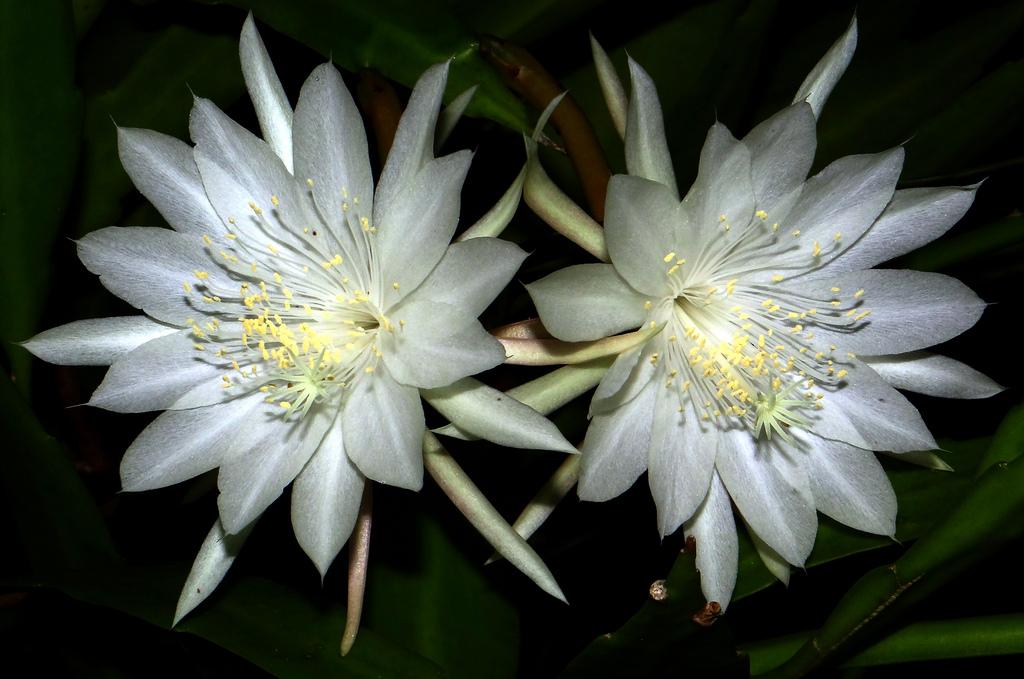 Hình bông hoa Quỳnh nở đẹp