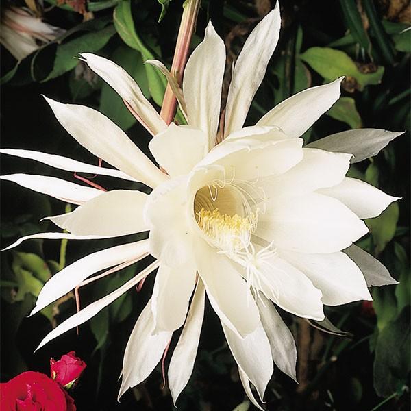 Hình bông hoa Quỳnh nở trong đêm