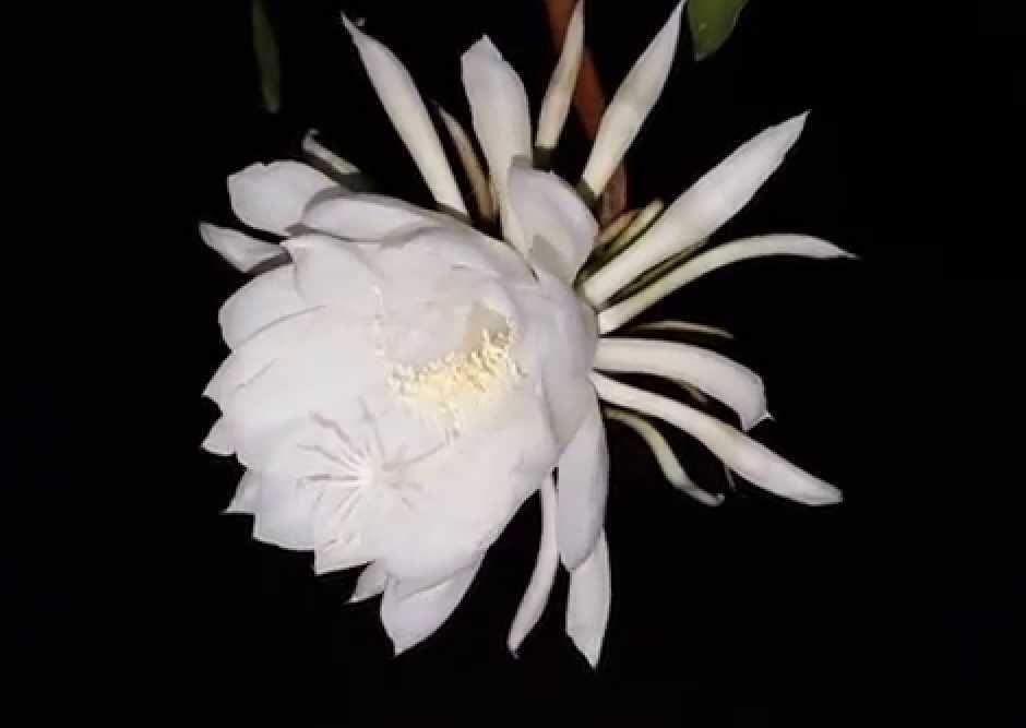 Hình hoa Quỳnh đẹp nhất