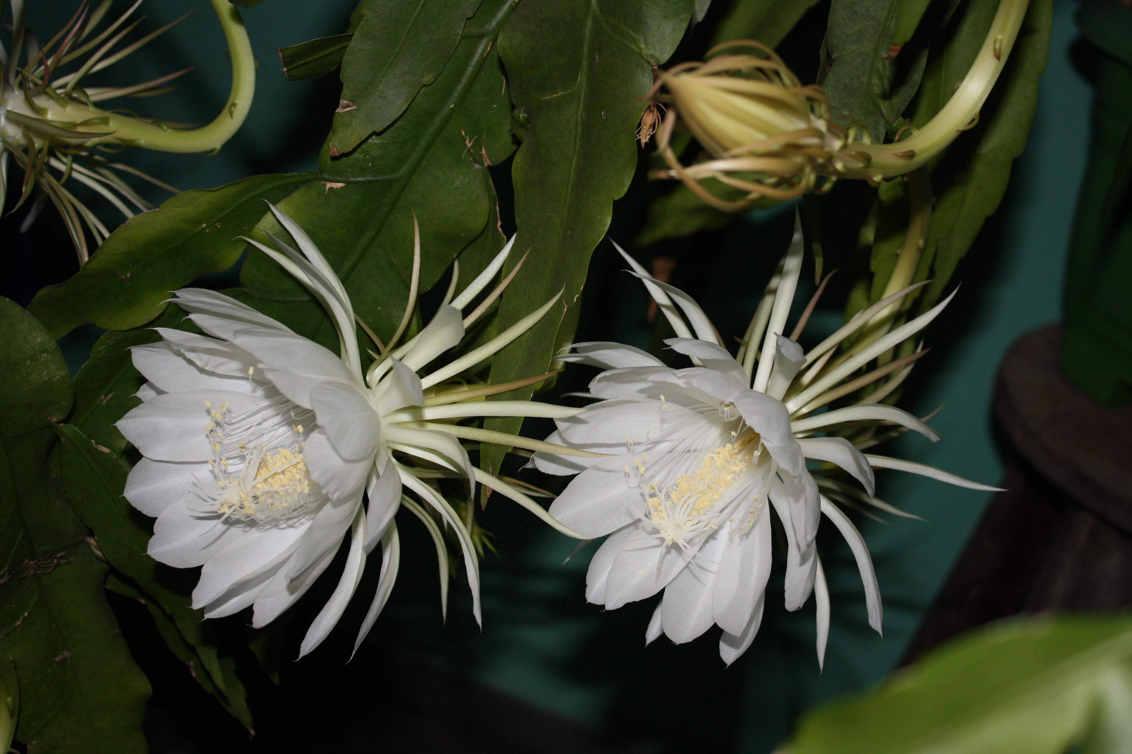 Hình hoa Quỳnh đẹp