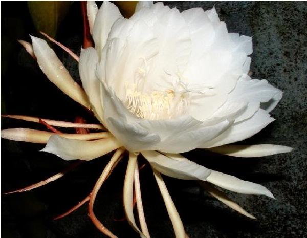 Hình hoa Quỳnh
