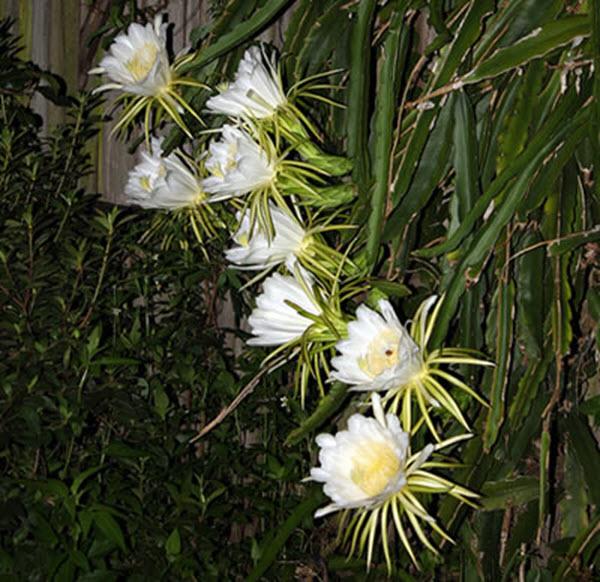 Hình những bông hoa Quỳnh