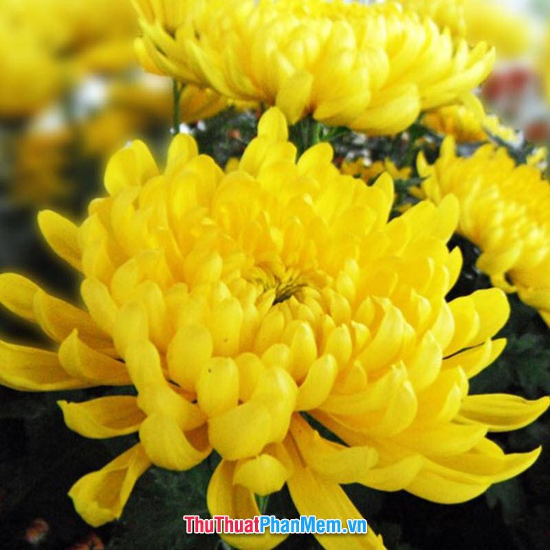 Hoa cúc vàng là lựa chọn không tồi cho ngày mùng 8 tháng 3