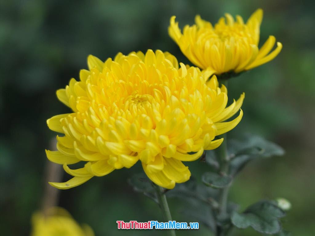 Hoa cúc vàng món quà tặng mẹ nhân dịp ngày quốc tế phụ nữ