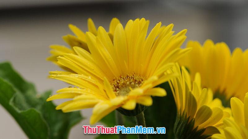 Hoa cúc vàng tặng mẹ nhân ngày mùng 8 tháng 3
