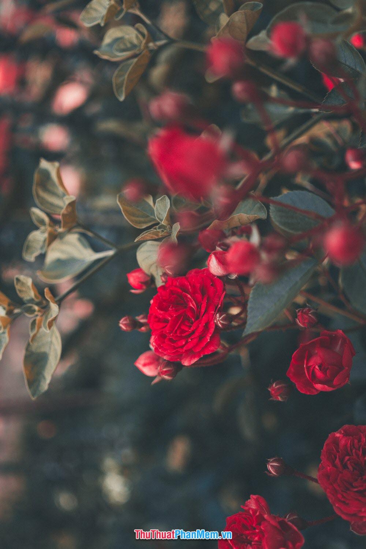 Hoa hồng đỏ tặng cho vợ và người yêu thể hiện tình yêu đằm thắm nồng cháy