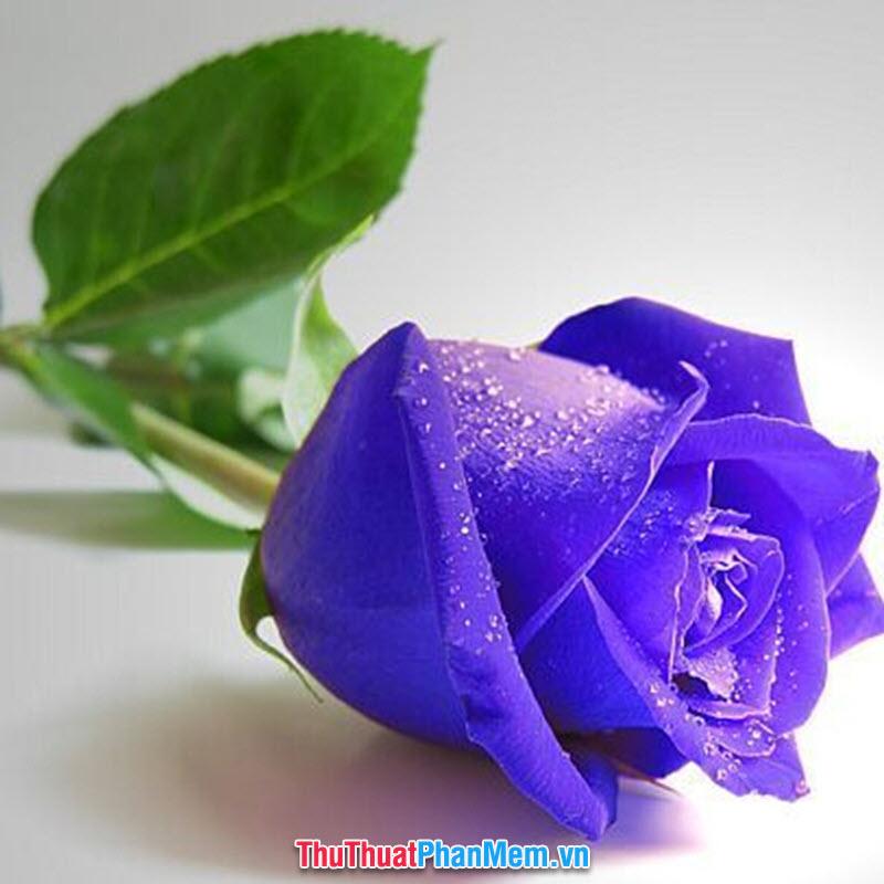 Hoa hồng tím dành tặng mẹ nhân ngày mùng 8 tháng 3
