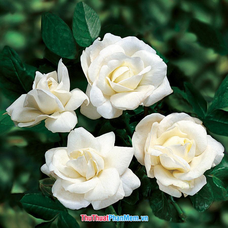 Hoa hồng trắng biểu lộ tình yêu trong trắng dành cho người mình yêu