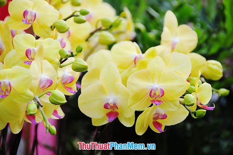 Hoa lan sắc vàng dành tặng cho vợ và người yêu nhân dịp quốc tế phụ nữ
