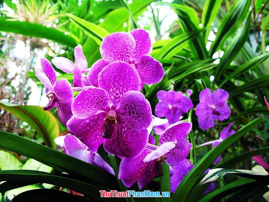 Hoa lan tím khoe sắc vào ngày mùng 8 tháng 3 để tặng cho vợ và người yêu