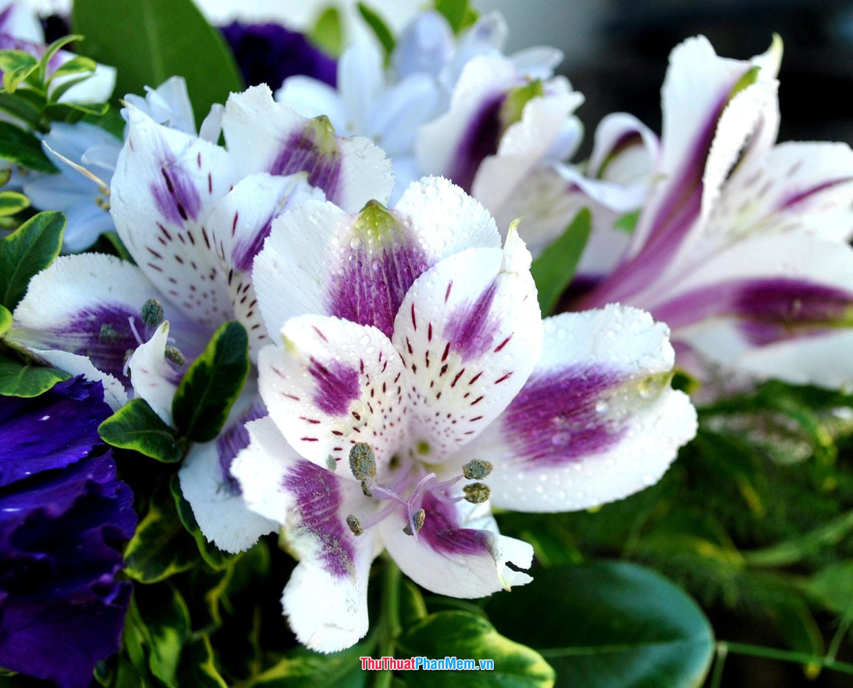 Hoa ly như cánh bướm nhỏ xinh đẹp tặng cho vơ và người yêu vào ngày mùng 8 tháng 3