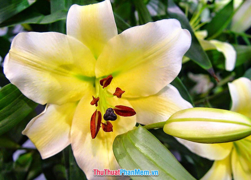 Hoa ly tặng cho vợ và người yêu vào ngày mùng 8 tháng 3
