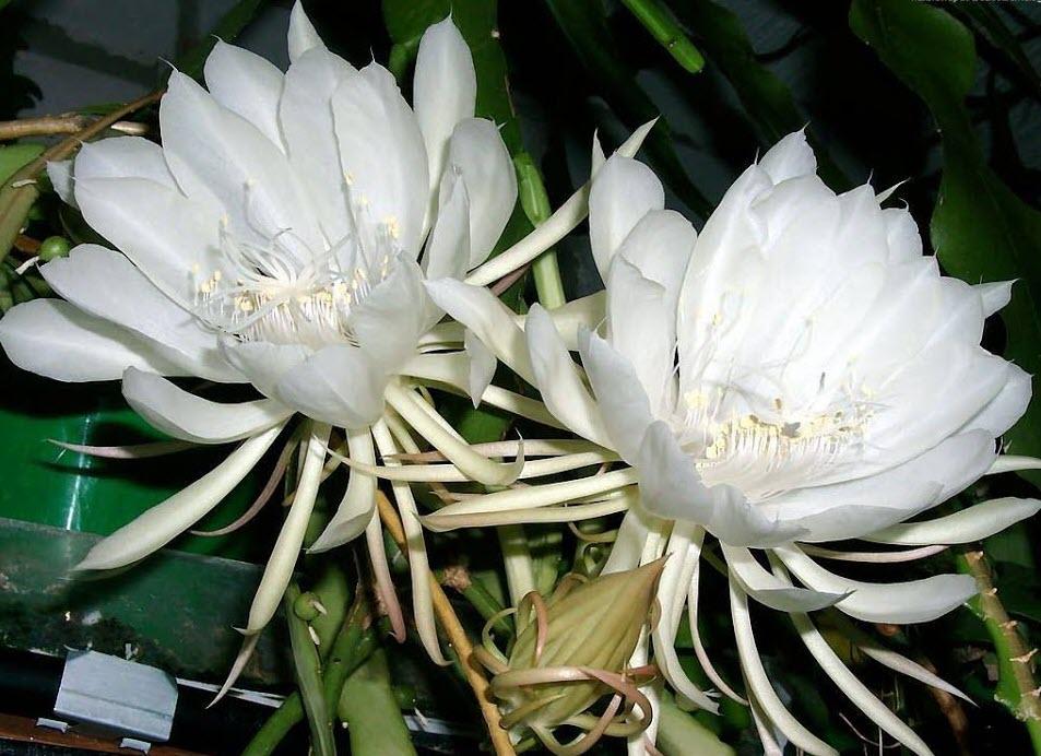 Hoa Quỳnh cực đẹp