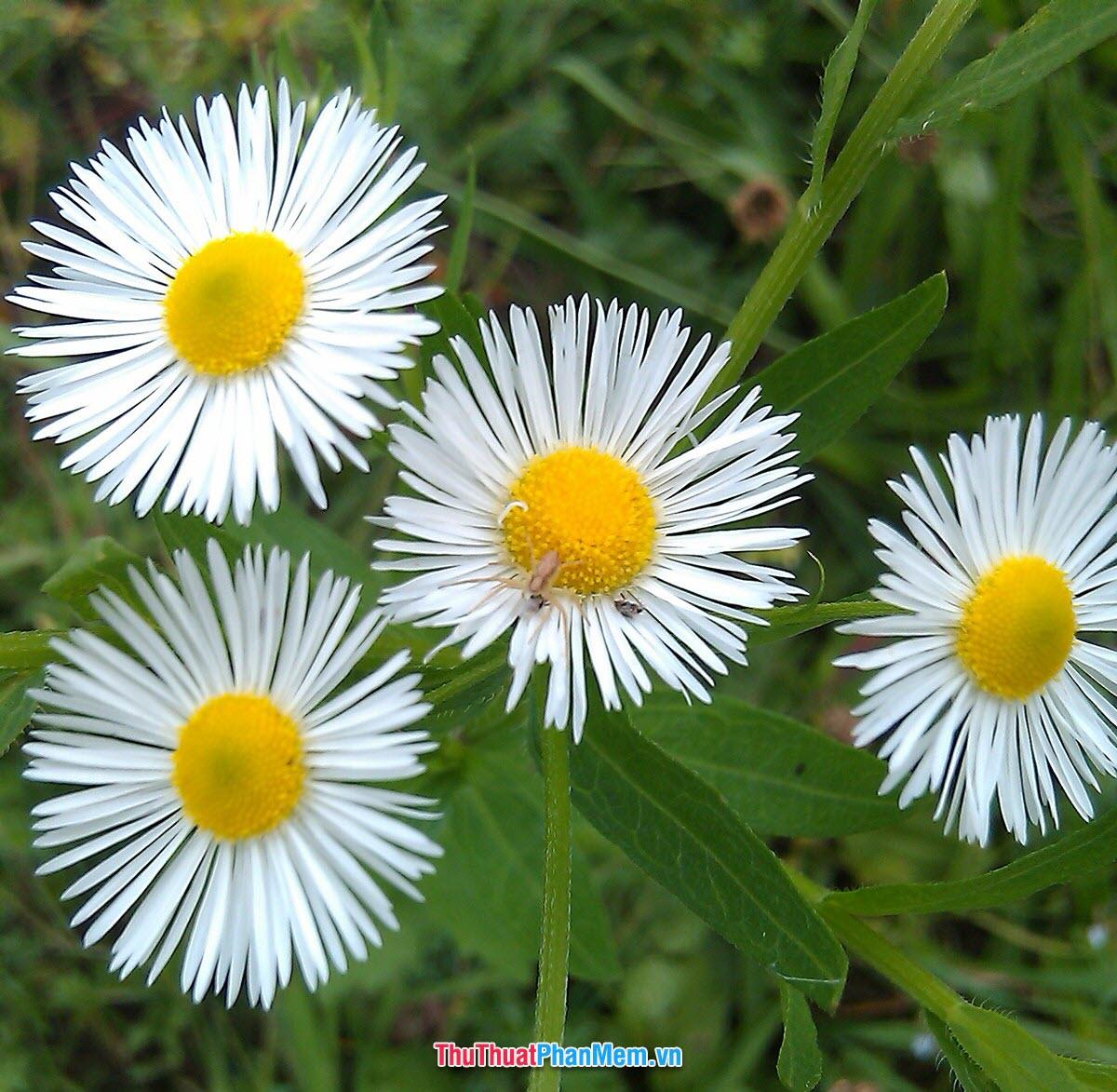 Hoa thạch thảo trắng dành tặng vợ và người yêu vào ngày quốc tế phụ nữ