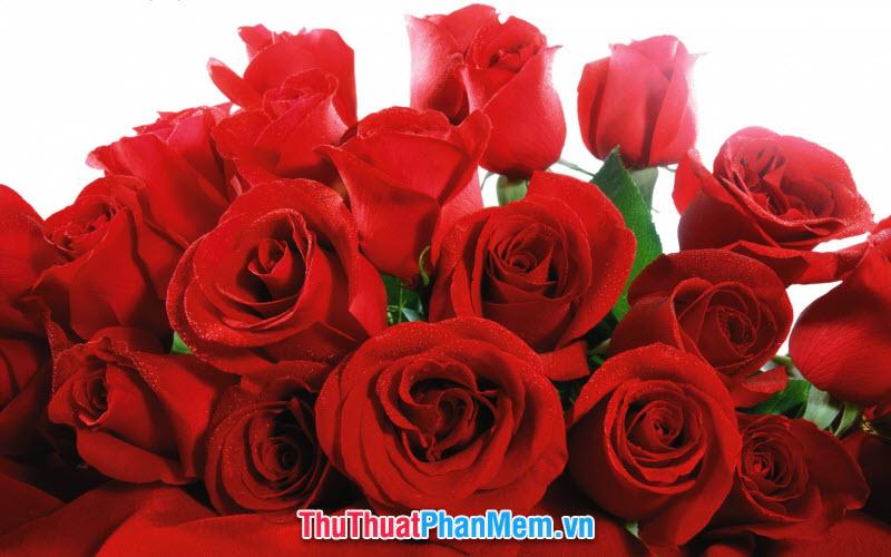 Hồng đỏ thắm thiết tặng mẹ nhân ngày quốc tế phụ nữ